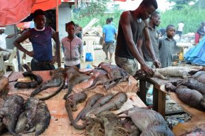 Ivory Coast seizes record three tonnes of pangolin scales