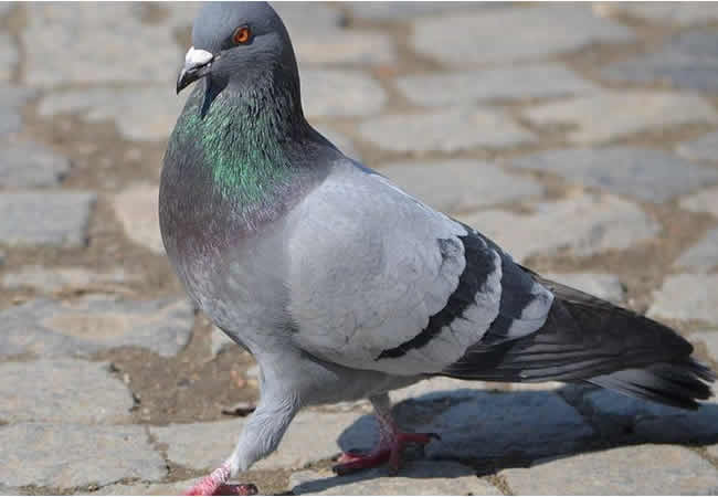 Courier pigeon that delivered top secret messages during WWII honoured