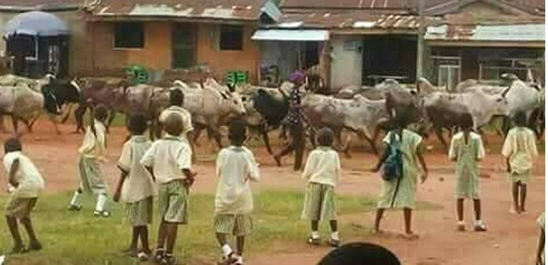 [PHOTOS] Cows invade school in Edo, displace pupils, teachers